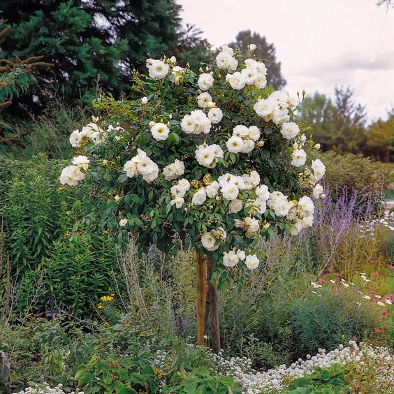 unusual mothers day gift Iceberg Rose standard